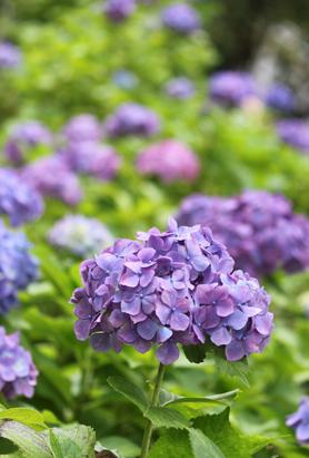 0620紫陽花1.jpg