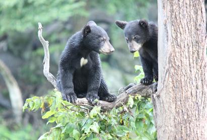 0812木に登る熊.jpg