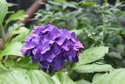 0819紫陽花.jpg