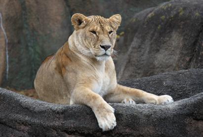 1222雌ライオン1.jpg