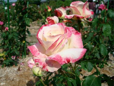 まだら薔薇