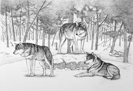ヨーロッパ狼1.jpg